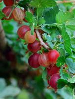 Северный виноград 2