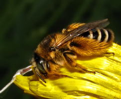 Пчелкин сон :)
