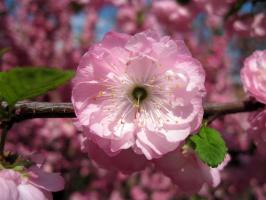 Цветёт трилоба