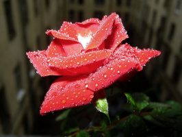 """Из серии """" Цветы на моём окне"""" Роза."""