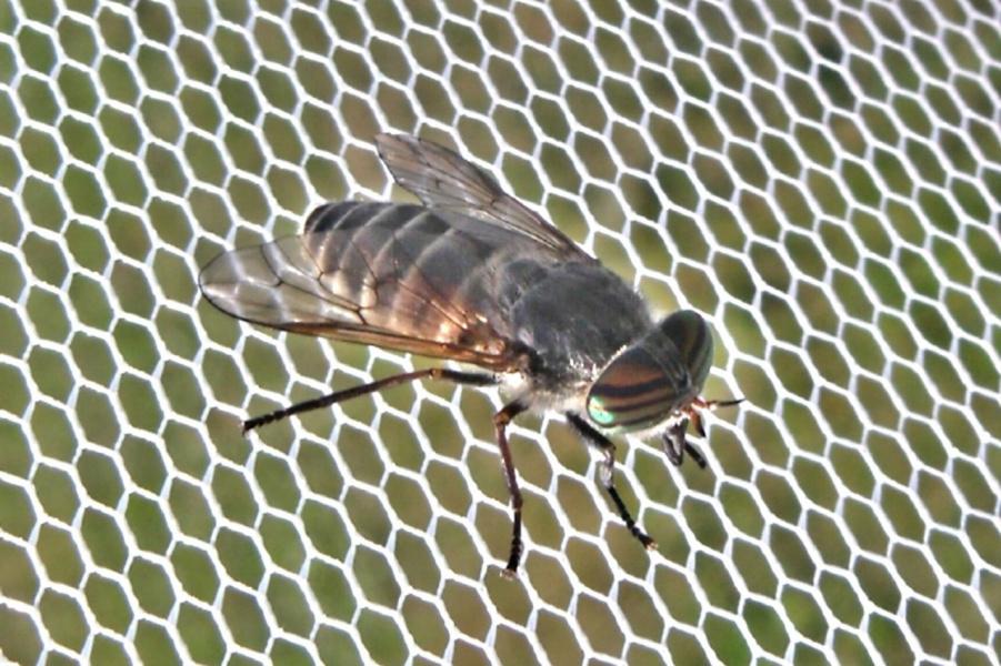 солнечный мух